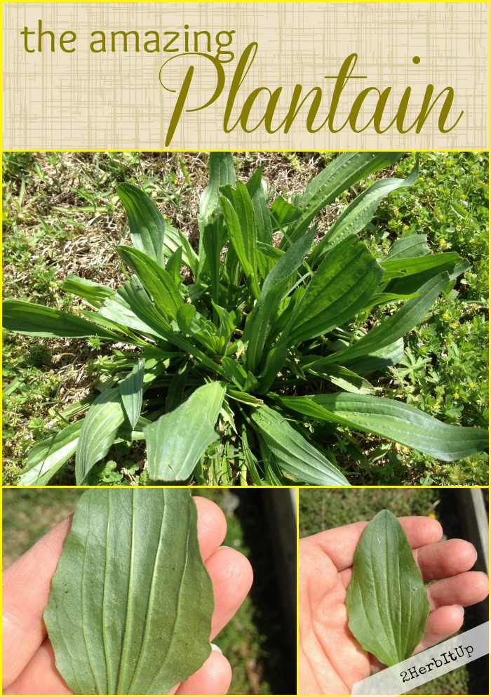 Plantain-the weed you want to leave